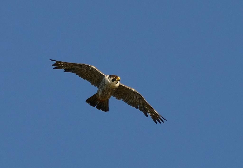 Attaque de faucon pèlerin P1730411