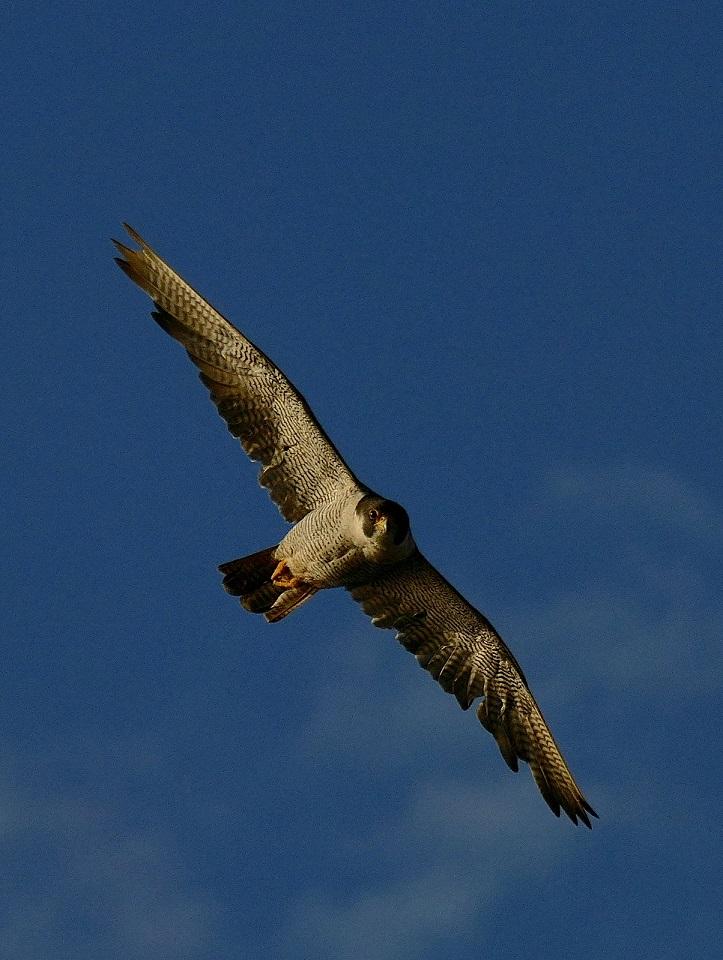 Attaque de faucon pèlerin P1730710
