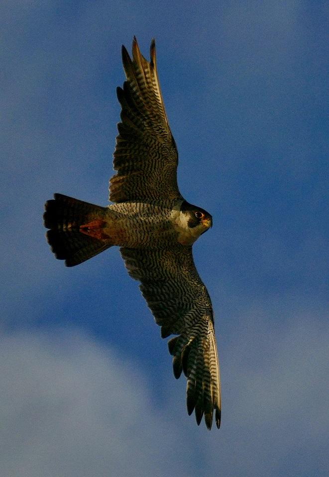 Attaque de faucon pèlerin P1730711