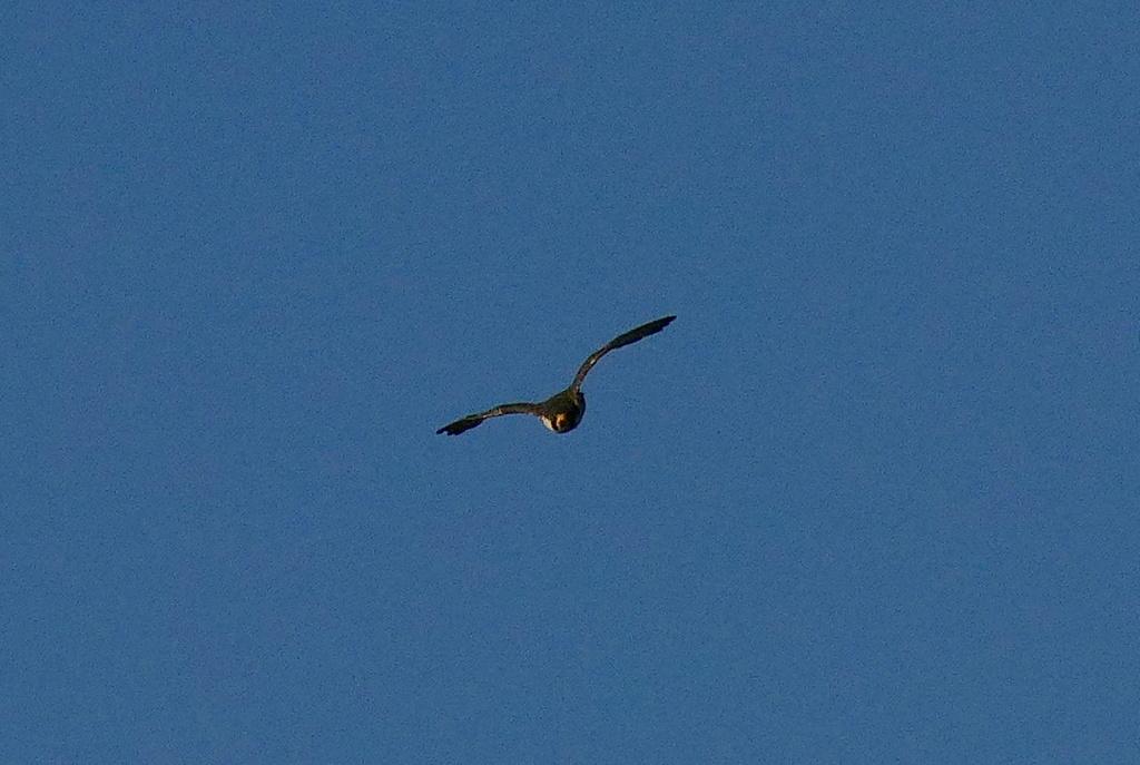 Attaque de faucon pèlerin P1730712