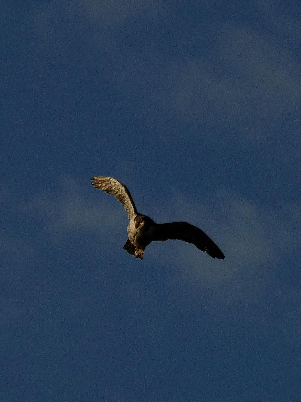 Attaque de faucon pèlerin P1730714
