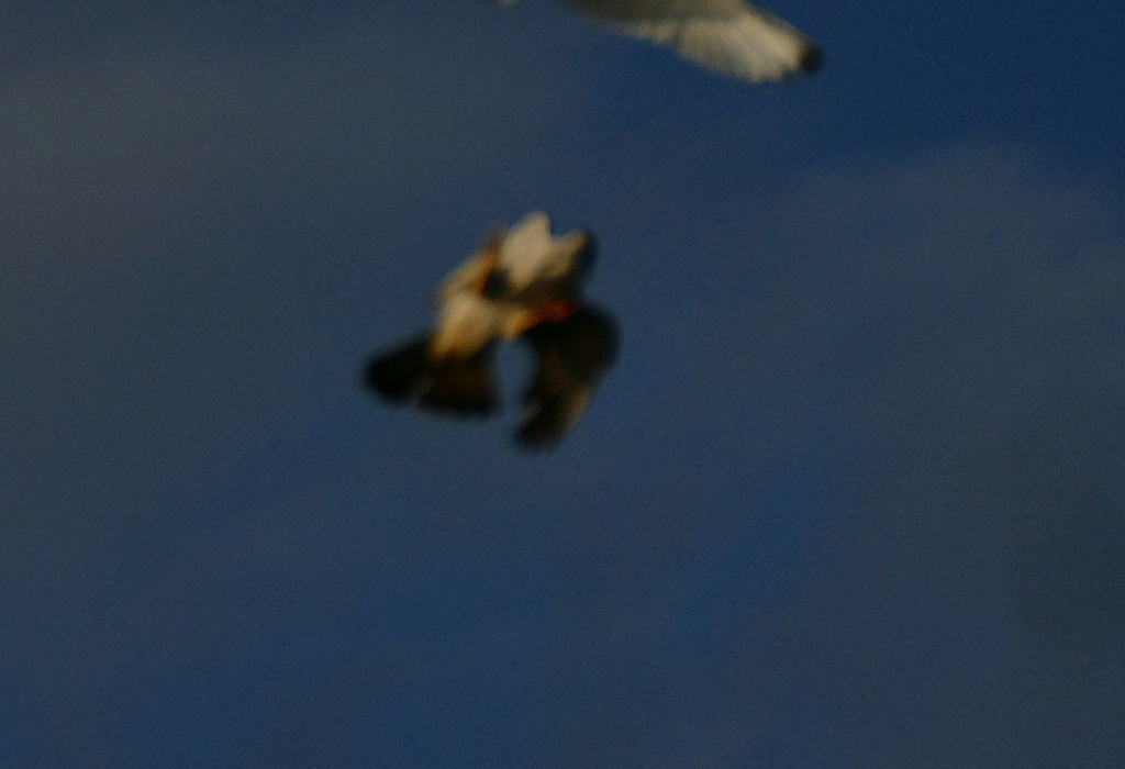 Attaque de faucon pèlerin P1730715