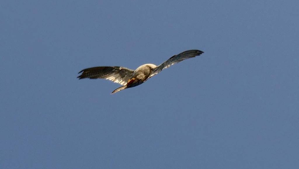 Attaque de faucon pèlerin P1740110