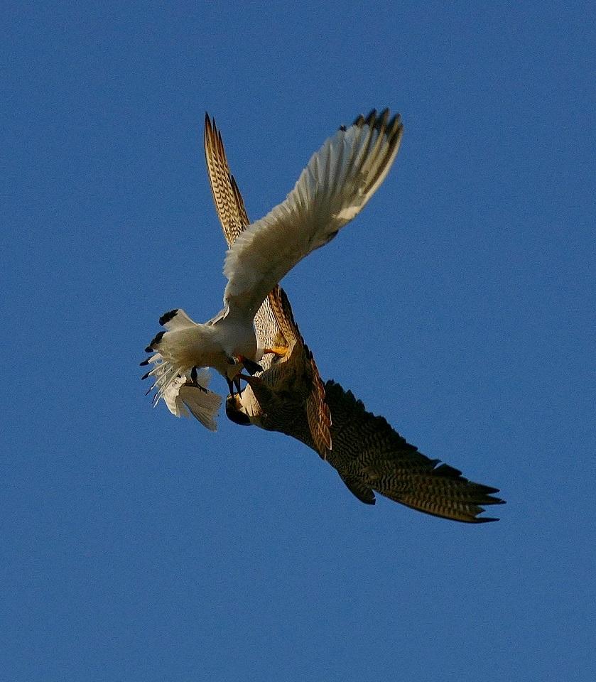 Attaque de faucon pèlerin P1740111