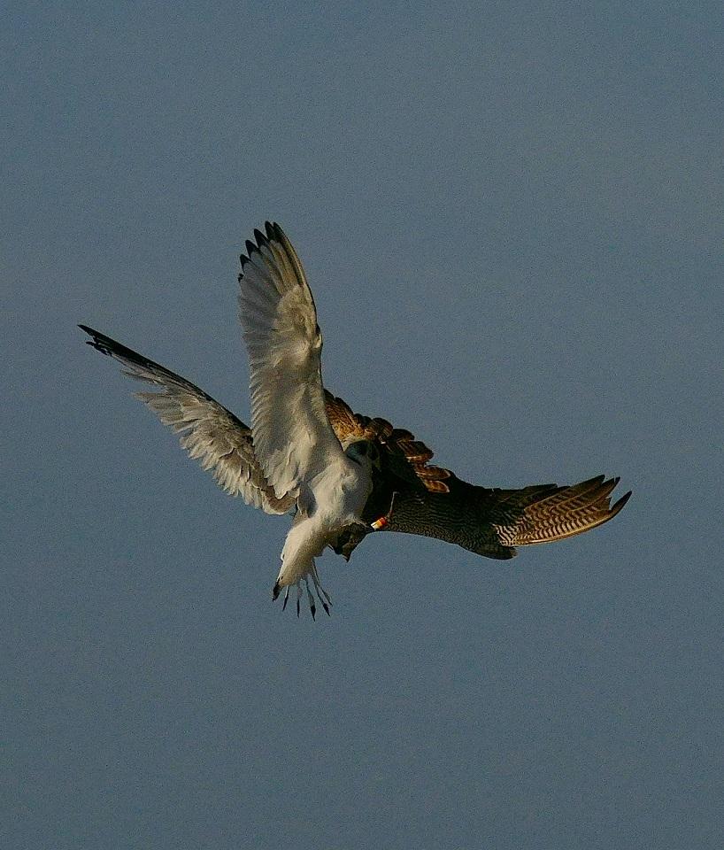 Attaque de faucon pèlerin P1740112
