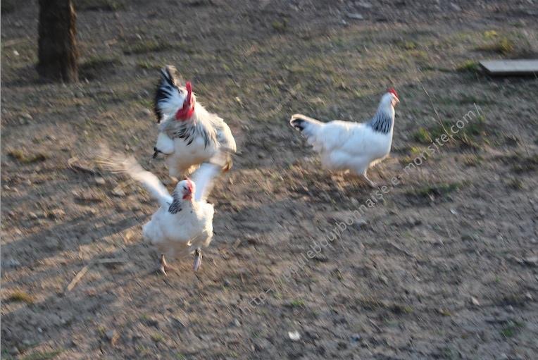La poule bourbonnaise Coq_po11