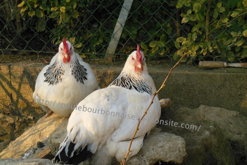 poule - La poule bourbonnaise Couple11