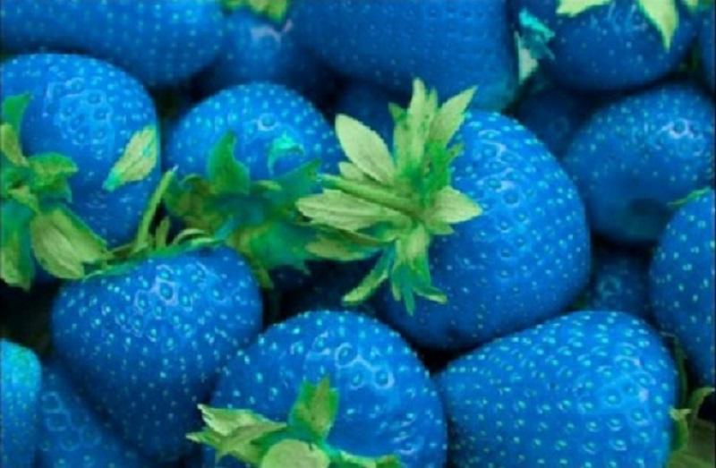 La Nouvelle Fraise OGM Bleue 55046_10