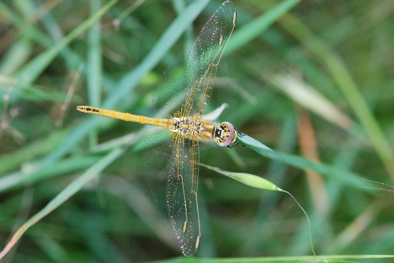libellules Dsc_0412
