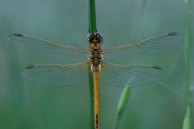 libellules Dsc_0413