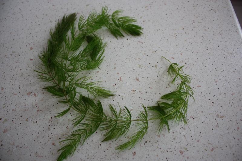 Avis aux amateurs de Cératophyllum Img_0210