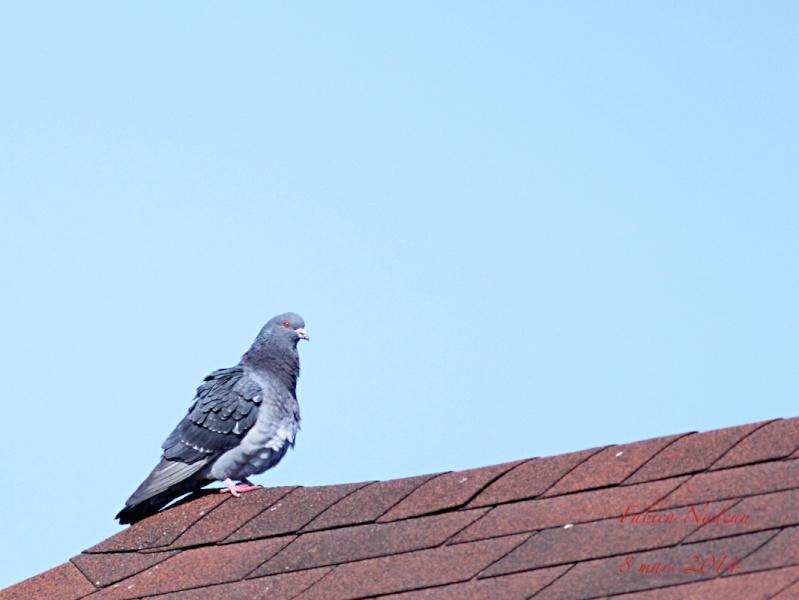 Pigeon biset _mg_7310