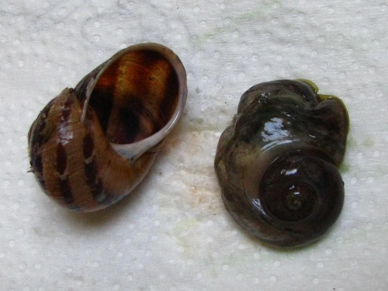 Suivi élevage 1. Mue nymphale. Chrysocarabus auronitens FABRICIUS 1792; - Page 2 02110