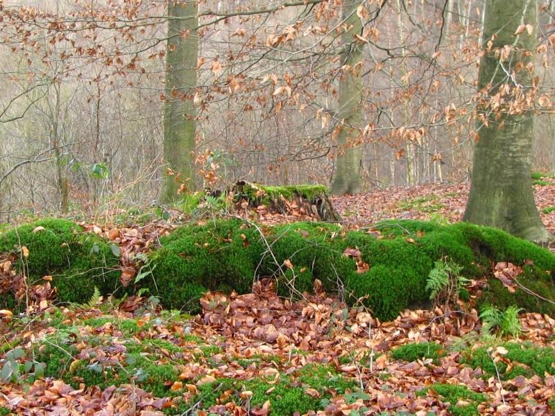Promenade en Forêt de Soignes. 310