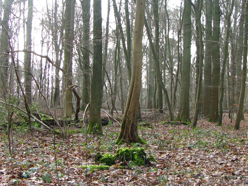 Promenade en Forêt de Soignes. 510