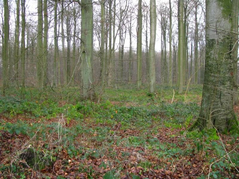 Promenade en Forêt de Soignes. 810