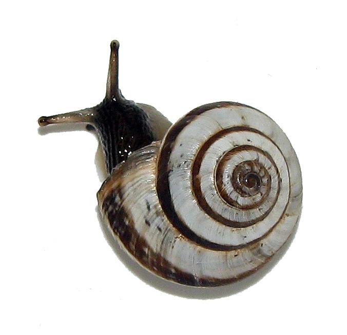 Suivi élevage 1. Mue nymphale. Chrysocarabus auronitens FABRICIUS 1792; A13