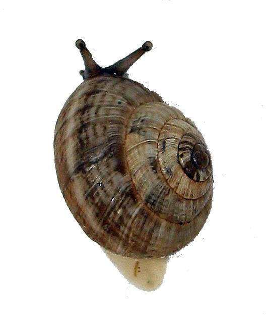 Suivi élevage 1. Mue nymphale. Chrysocarabus auronitens FABRICIUS 1792; Aa12