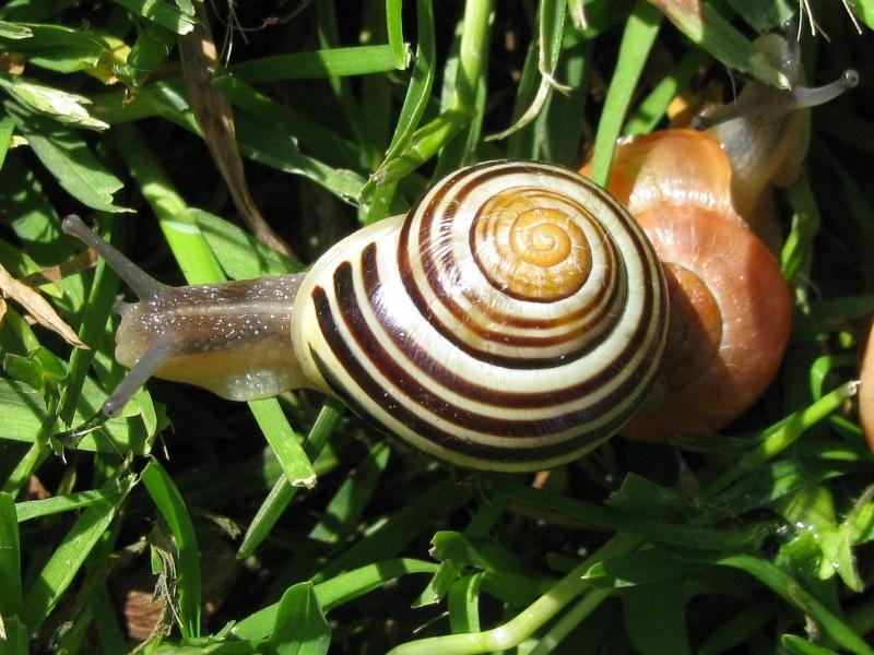 Suivi élevage 1. Mue nymphale. Chrysocarabus auronitens FABRICIUS 1792; Cepaea10