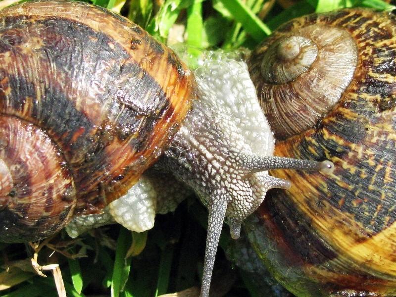 Suivi élevage 1. Mue nymphale. Chrysocarabus auronitens FABRICIUS 1792; Helix_10