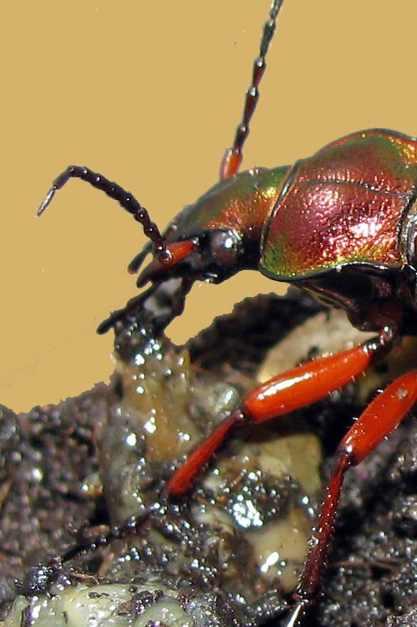 Suivi élevage 1. Mue nymphale. Chrysocarabus auronitens FABRICIUS 1792; Qqq10