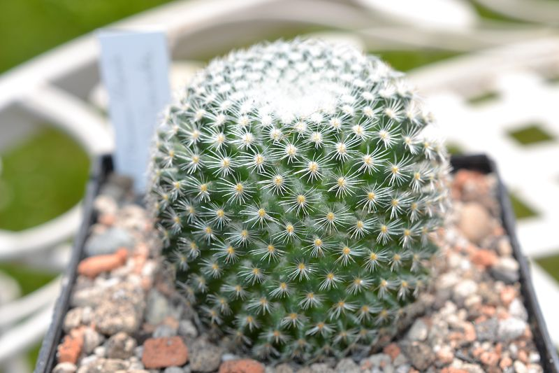 Mammillaria albilanata K-albi12
