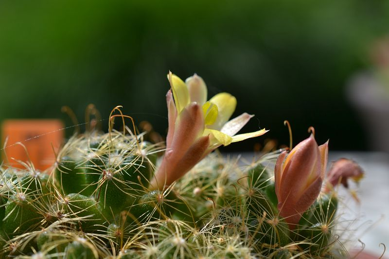 Mammillaria surculosa K-surc11