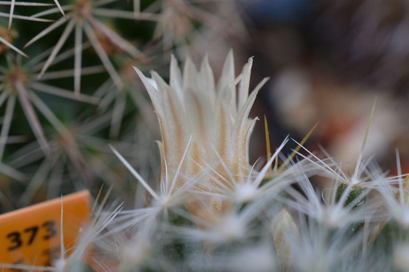 Mammillaria viereckii K-vier11