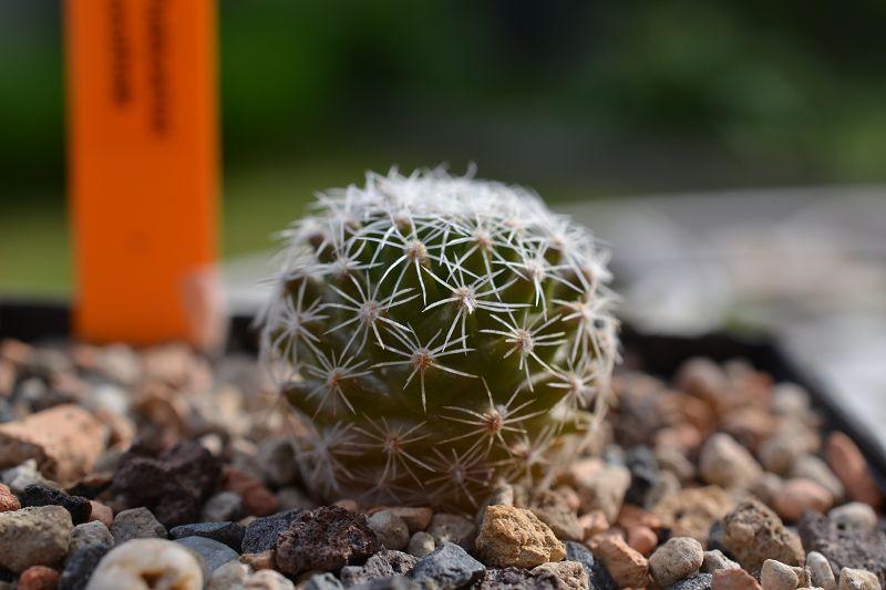 Thelocactus conothelos ssp. conothelos T_cono10