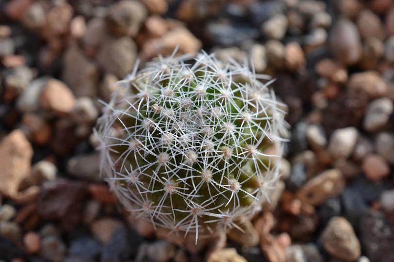 Thelocactus conothelos ssp. conothelos T_cono12