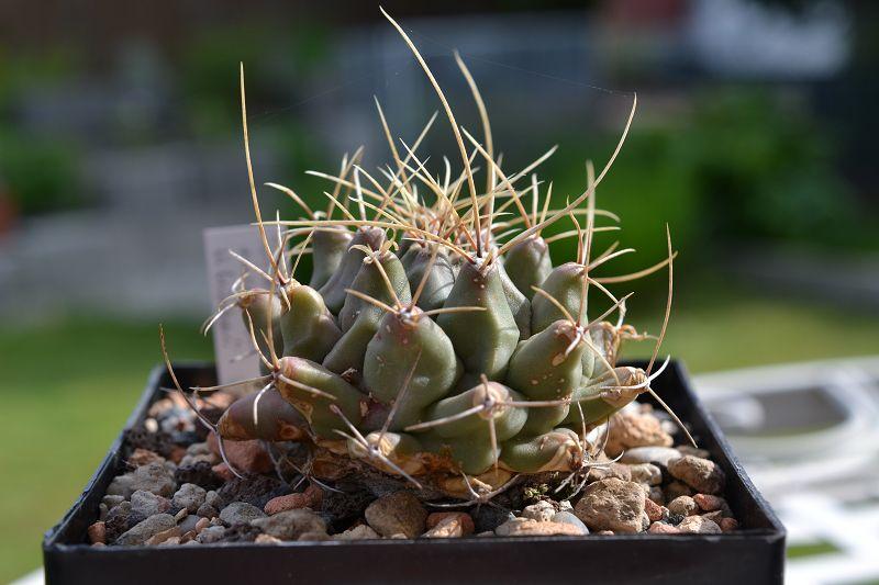 Thelocactus rinconensis ssp. hintonii T_rinc10