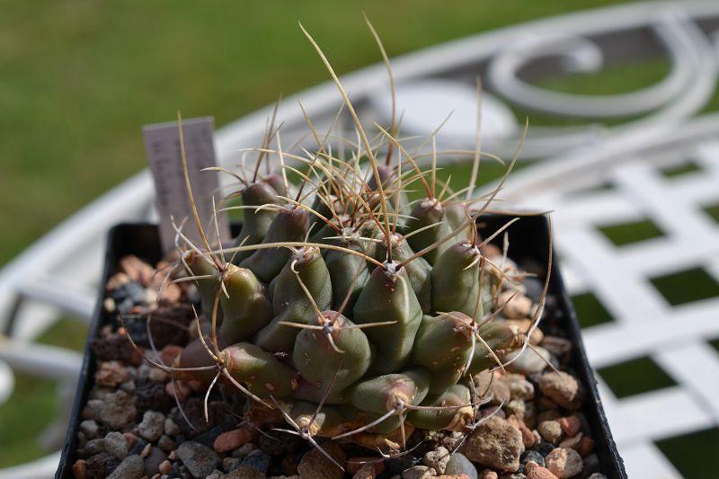 Thelocactus rinconensis ssp. hintonii T_rinc11