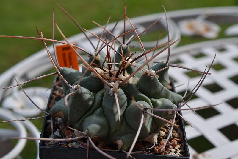 Thelocactus rinconensis var. rinconensis T_rinc14