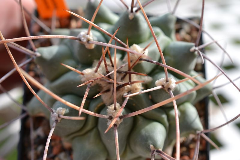Thelocactus rinconensis var. rinconensis T_rinc15