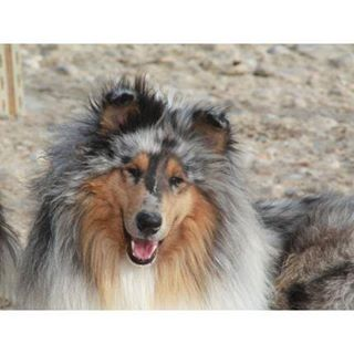 Perdu ZEUS male collie poils longs a MAILHOC 81 57576010