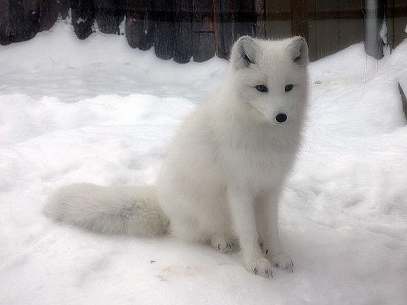 renards arctiques 20210