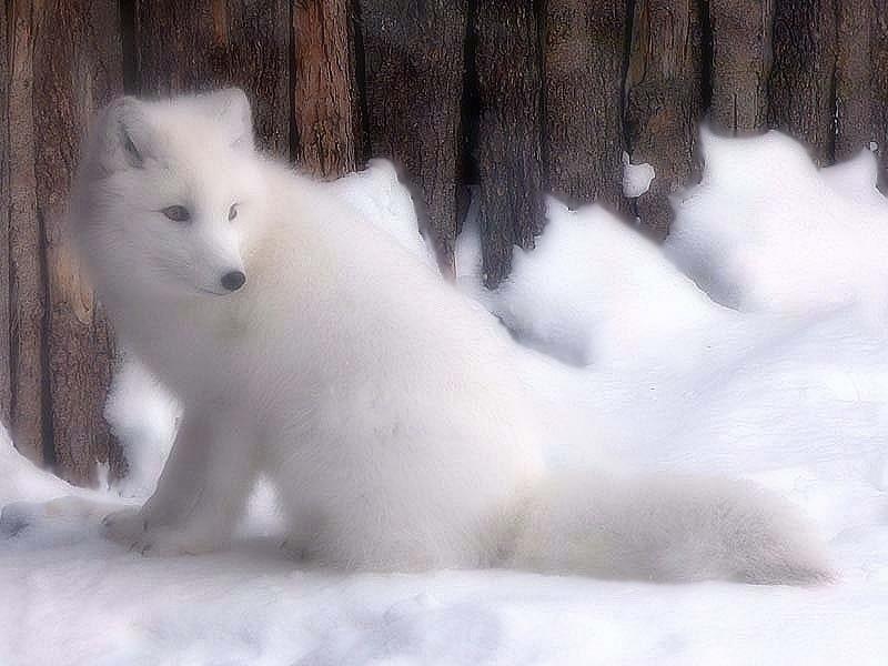 renards arctiques 20410