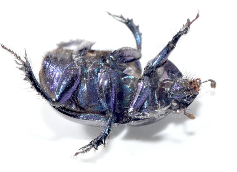 Anoplotrupes - Anoplotrupes stercorosus Anoplo15