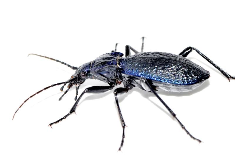 petite confirmation svp  (Carabus intricatus) Carabu18