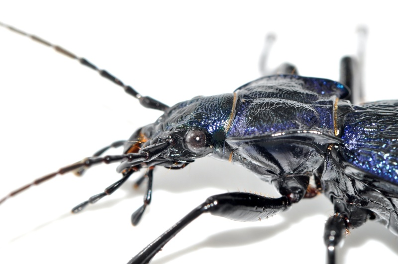 petite confirmation svp  (Carabus intricatus) Carabu20