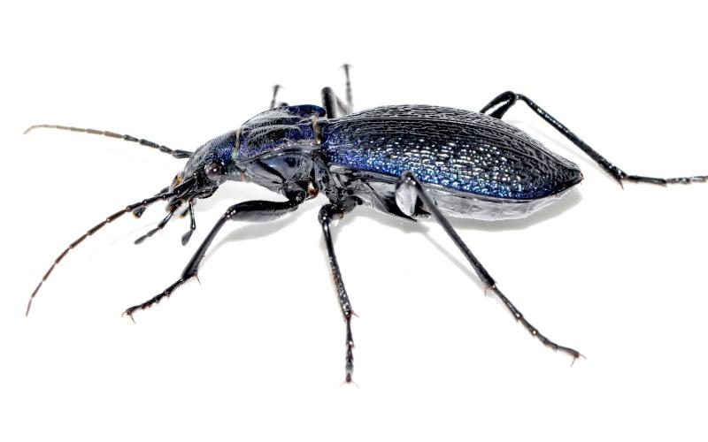 petite confirmation svp  (Carabus intricatus) Carabu23
