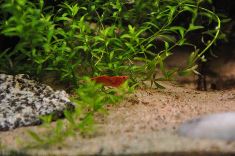 Nano 55L : Rasbora et red cherry Dsc_0030