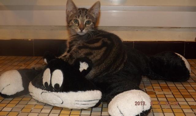 Tigresse, chaton femelle, née le 1 mai 2013 Tigres11