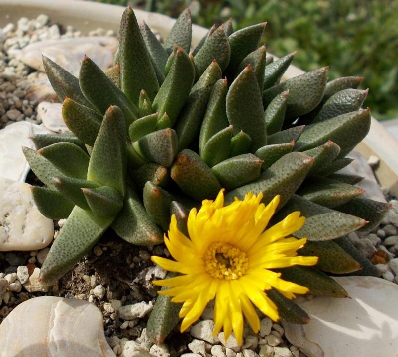Rabiea albipuncta Rabiea10