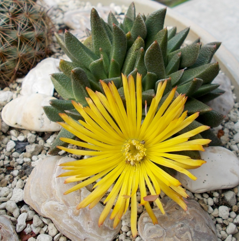 Rabiea albipuncta Rscn0611
