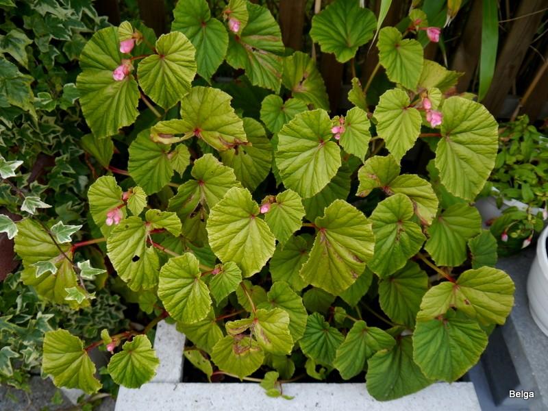 Begonia - Begonien P1010910