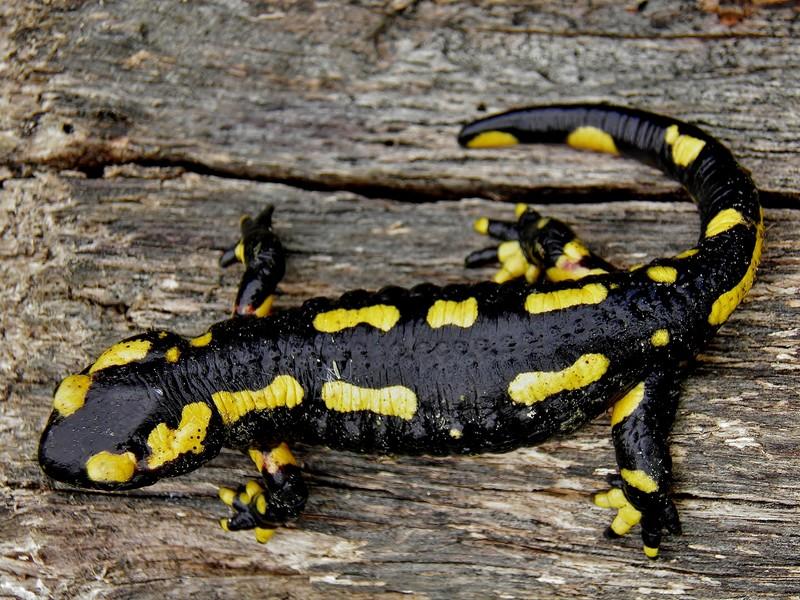 salamandre P5020011