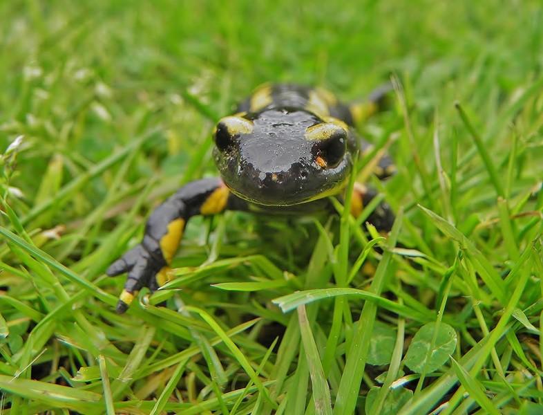 salamandre P5020012
