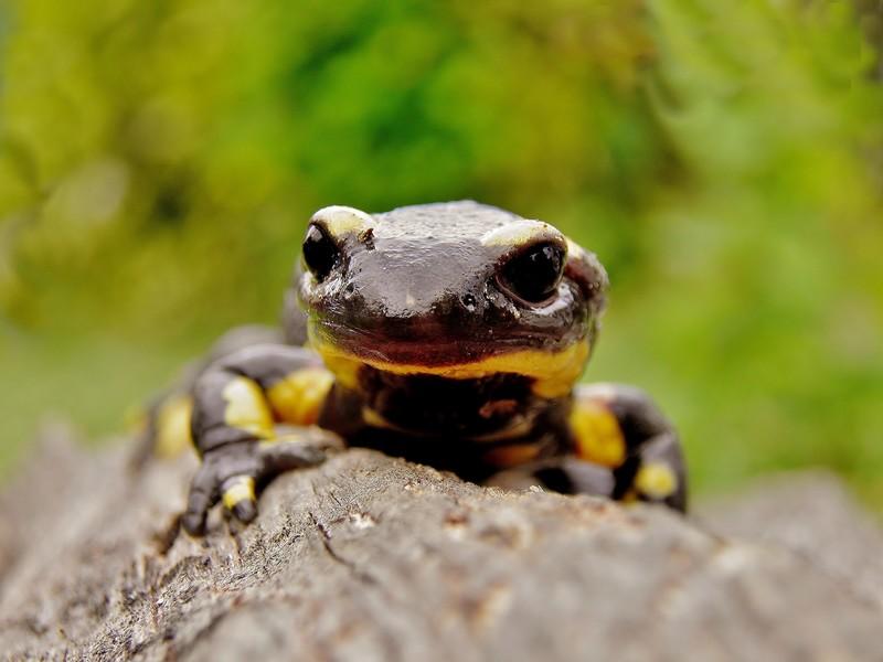 salamandre P5020013