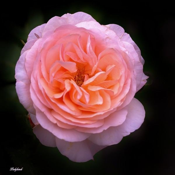 pink.. P6237112